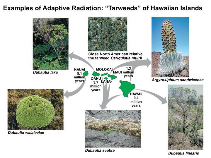"""Examples of Adaptive Radiation: """"Tarweeds"""" of Hawaiian Islands"""