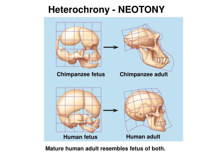 Heterochrony - NEOTONY
