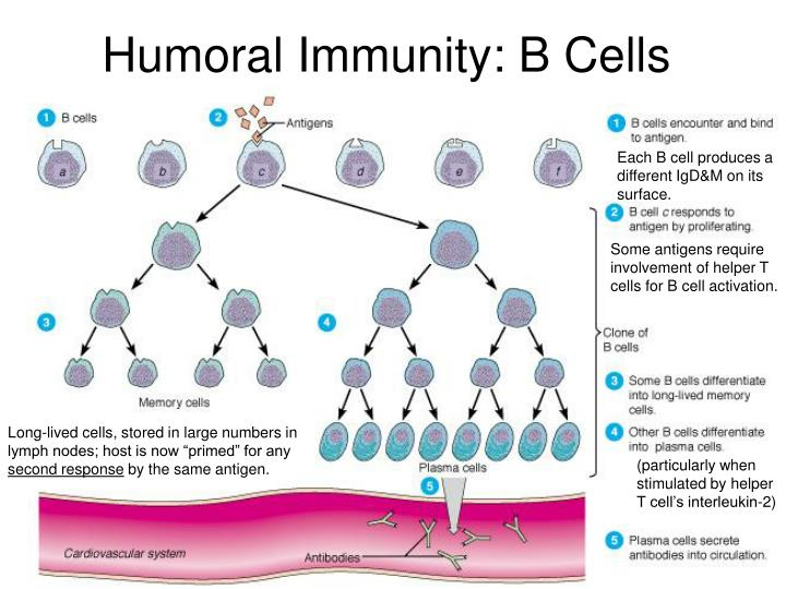 humoral immunity cells ppt presentation powerpoint skip