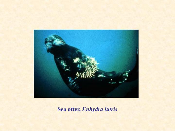 Sea otter,