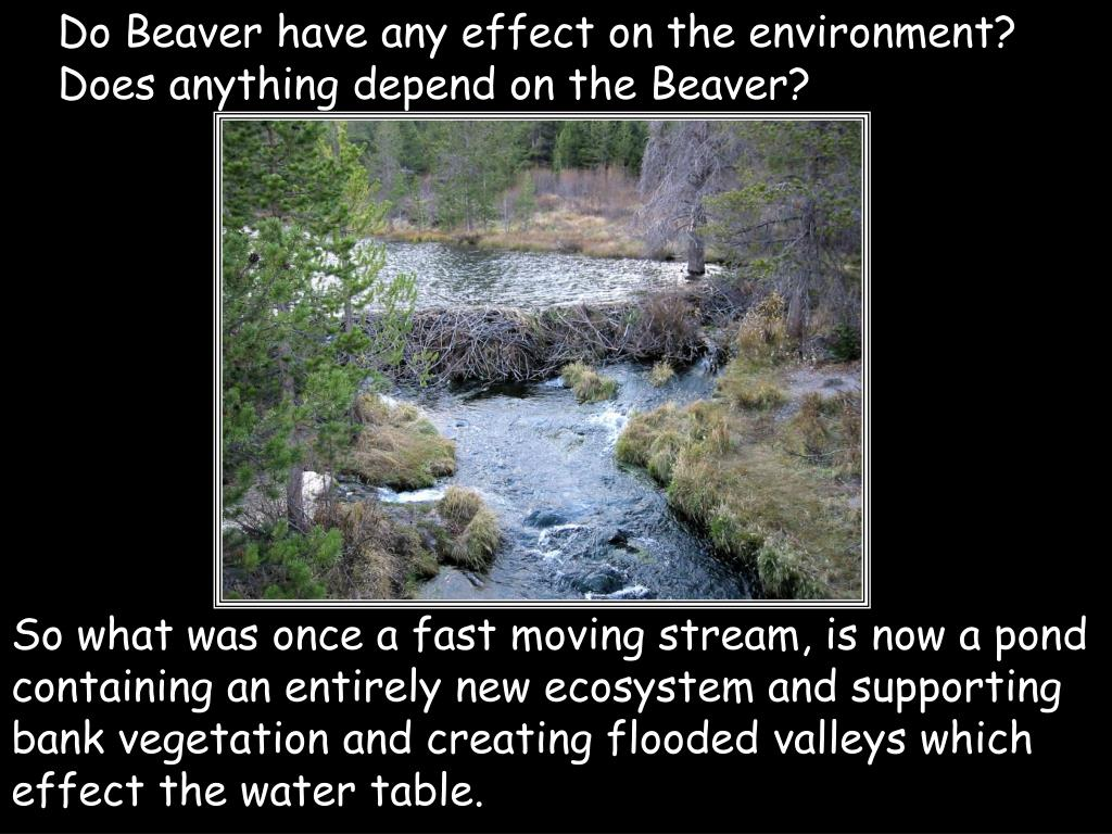 Do Beaver have any effect on the environment?  Does anything depend on the Beaver?