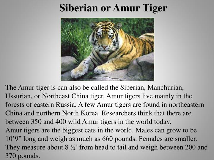 Siberian or Amur Tiger