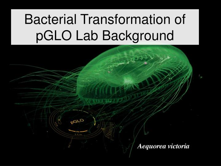 lab report 2 bacterial transformation Ap biology lab 6: molecular biology (part 6a only) this is a lab report of the first part of the molecular biology lab, where we look at bacterial transformation in e coli involving the lacz and ampr genes.