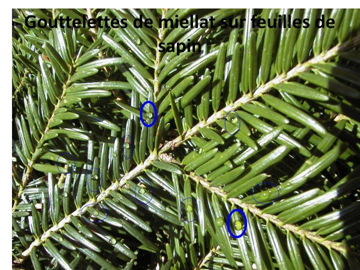 Gouttelettes de miellat sur feuilles de sapin