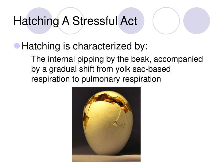 Hatching A Stressful Act