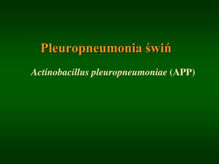 Pleuropneumonia świń