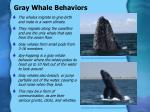 gray whale behaviors
