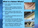 what is a baleen whale