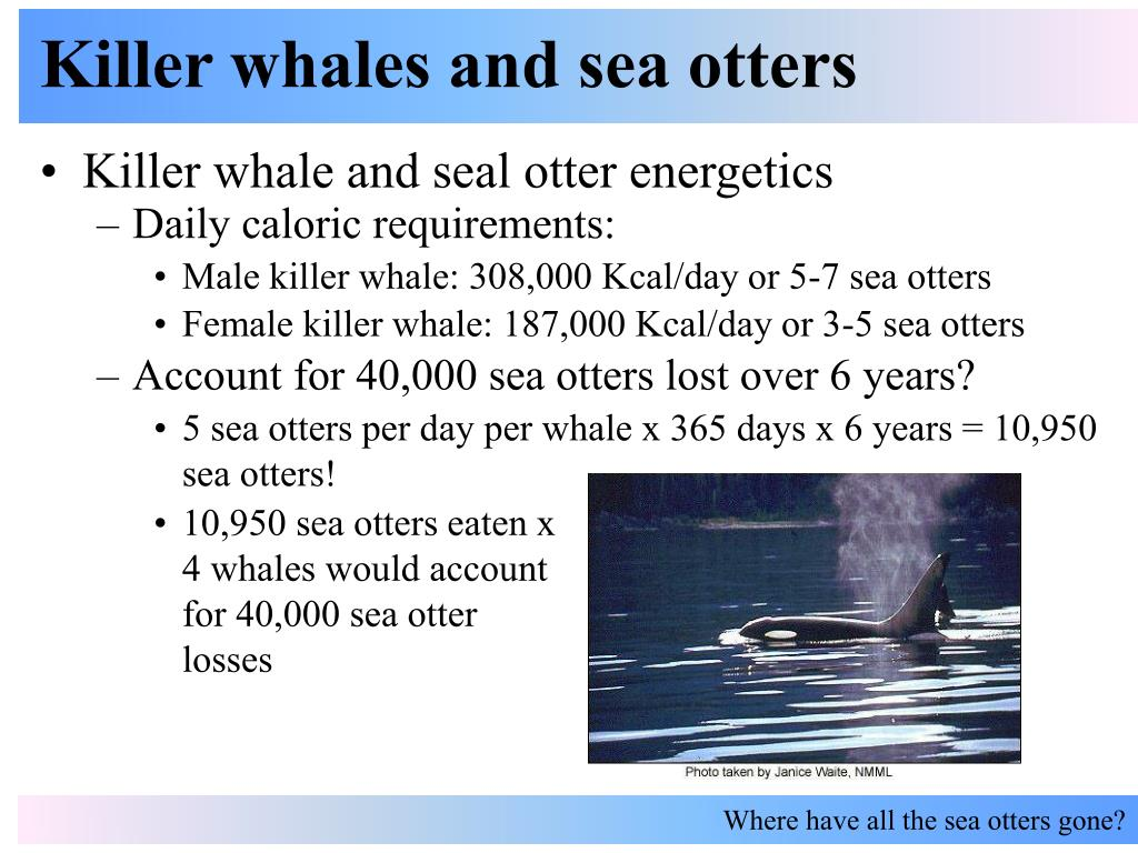 killer whales and sea otters l.
