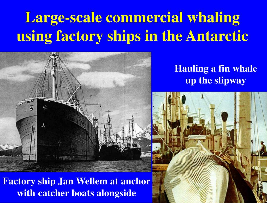 Large-scale commercial whaling using factory ships in the Antarctic