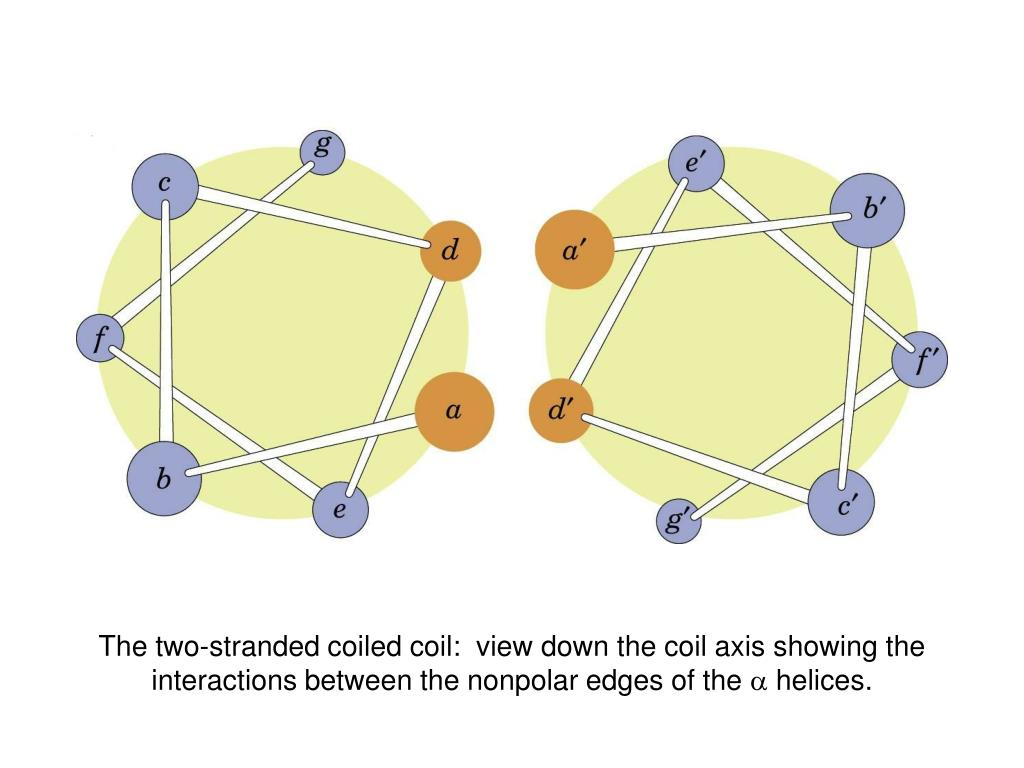 The two-stranded coiled coil:  view down the coil axis showing the interactions between the nonpolar edges of the