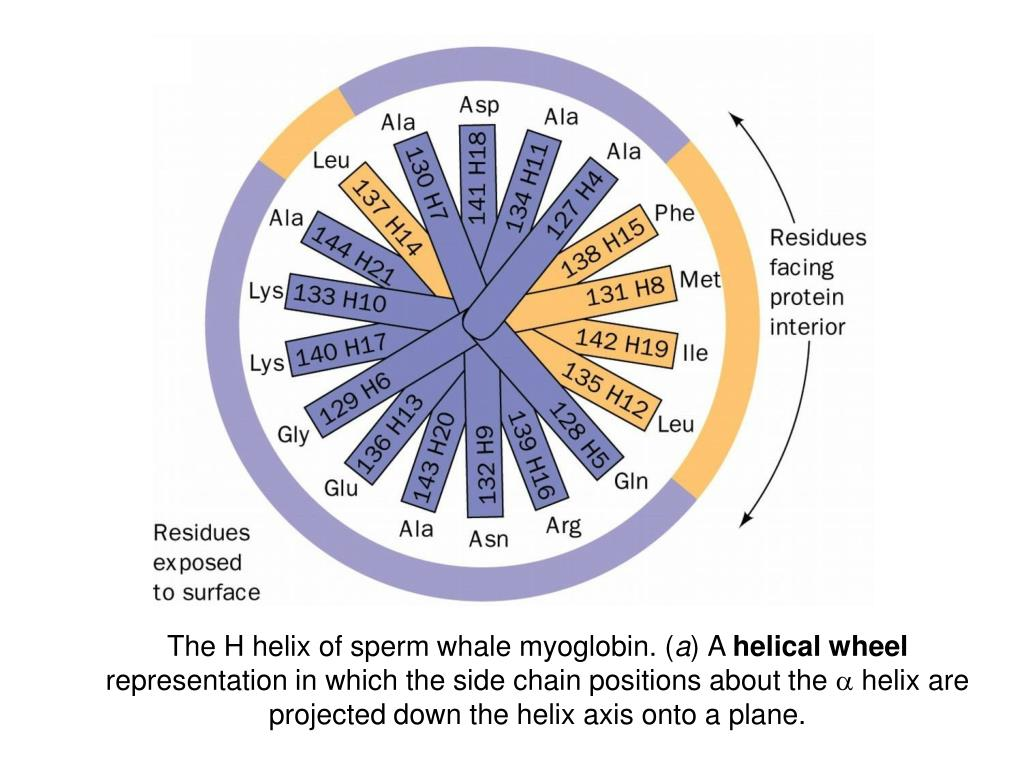 The H helix of sperm whale myoglobin. (