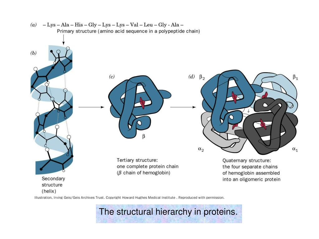 The structural hierarchy in proteins.