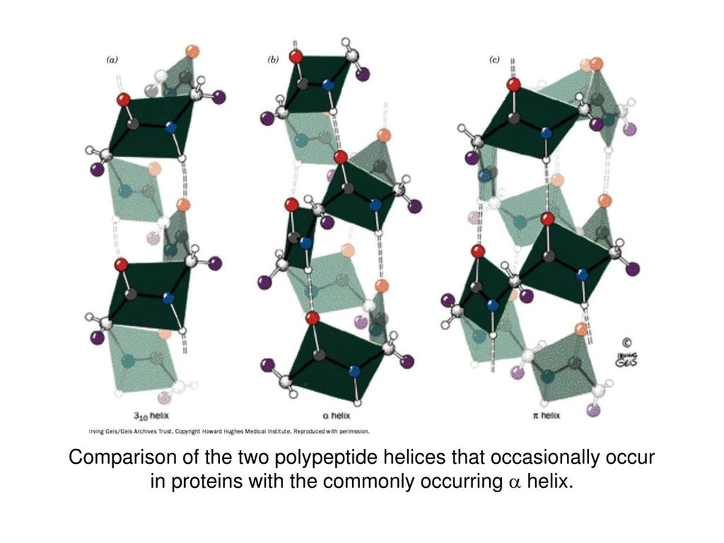 Comparison of the two polypeptide helices that occasionally occur in proteins with the commonly occurring