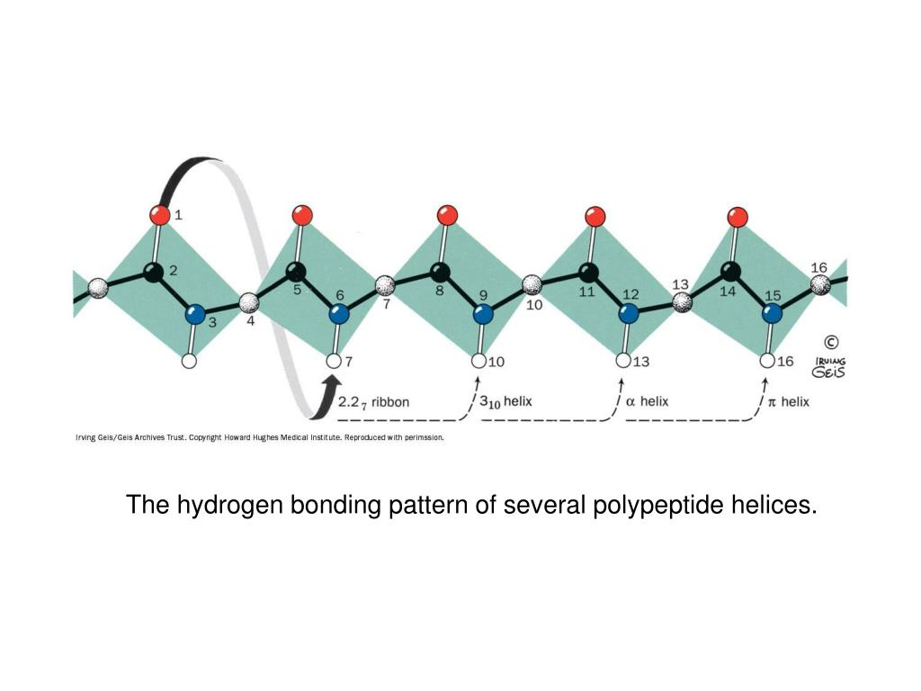 The hydrogen bonding pattern of several polypeptide helices.