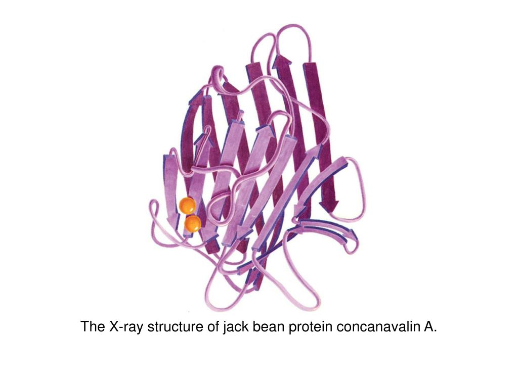 The X-ray structure of jack bean protein concanavalin A.