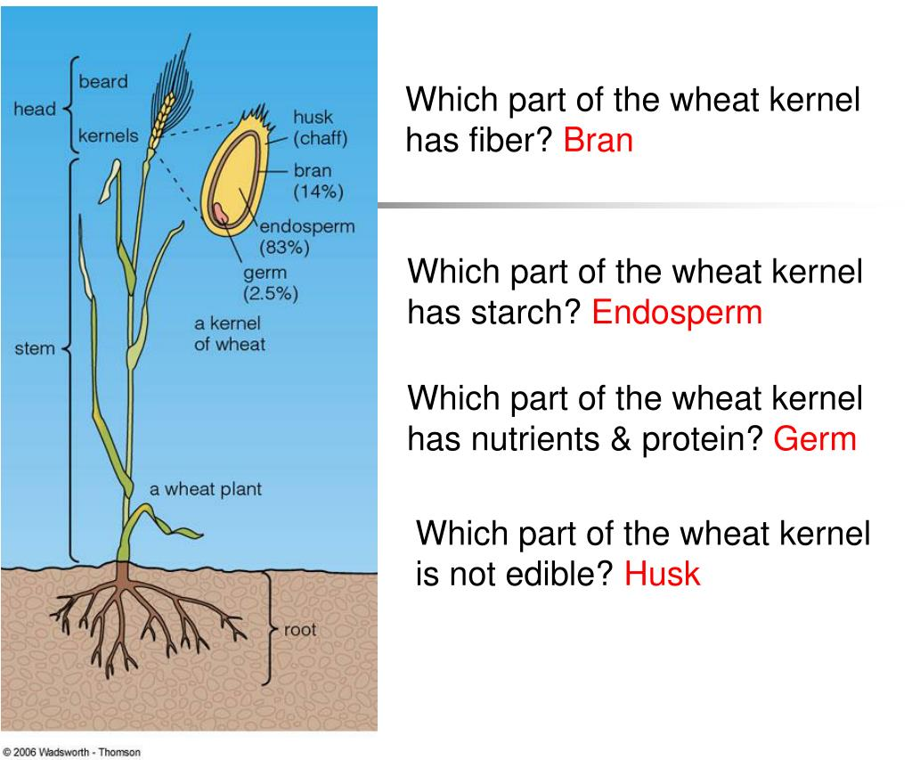 Which part of the wheat kernel