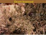 desert ironwood16