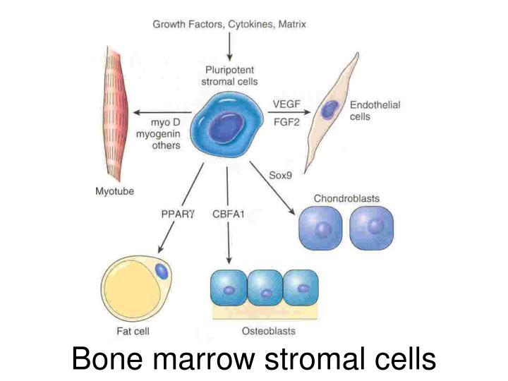 Bone marrow stromal cells