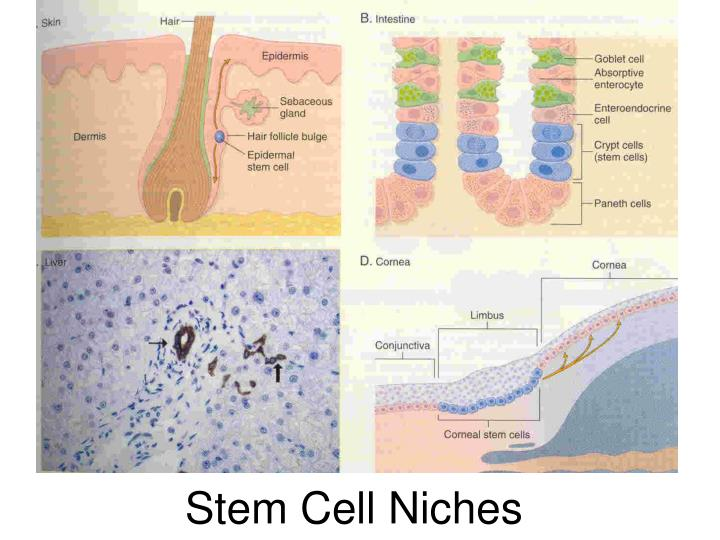 Stem Cell Niches
