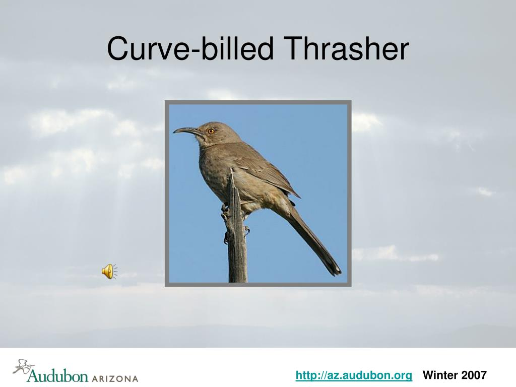 Curve-billed Thrasher