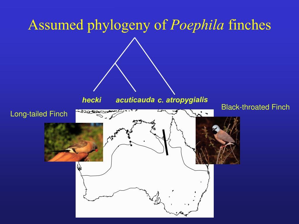 Assumed phylogeny of