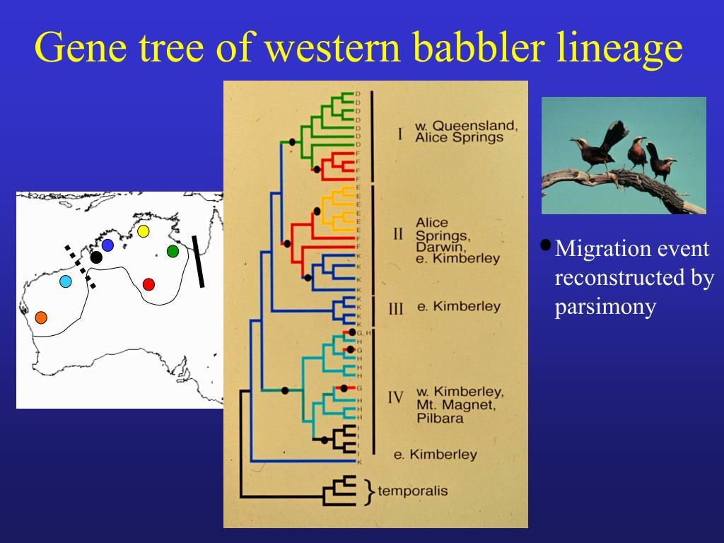 Gene tree of western babbler lineage