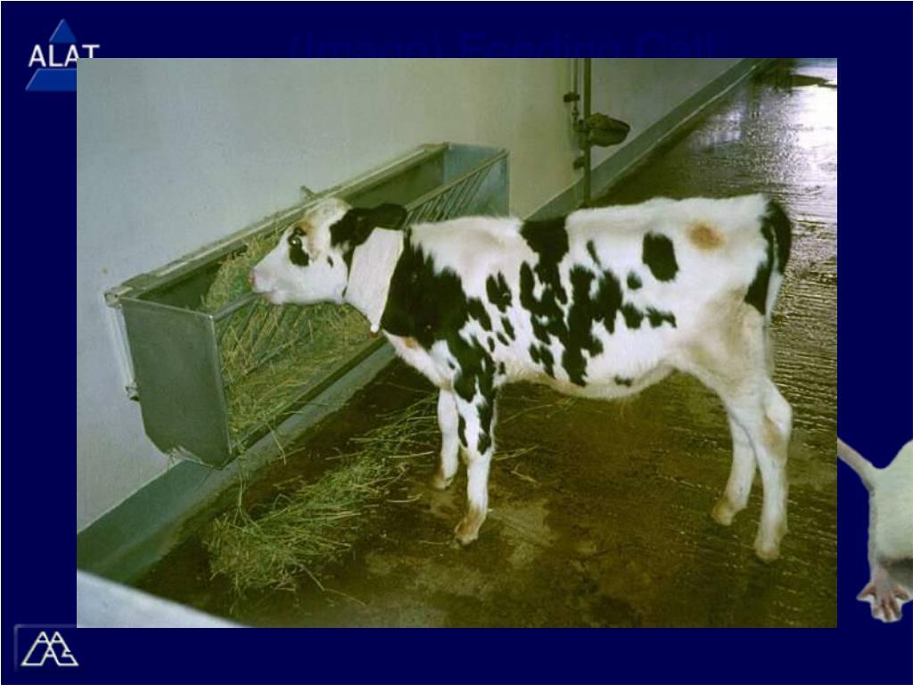 (Image) Feeding Calf