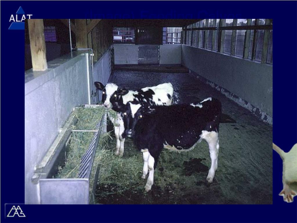 (Image) Feeding Calves
