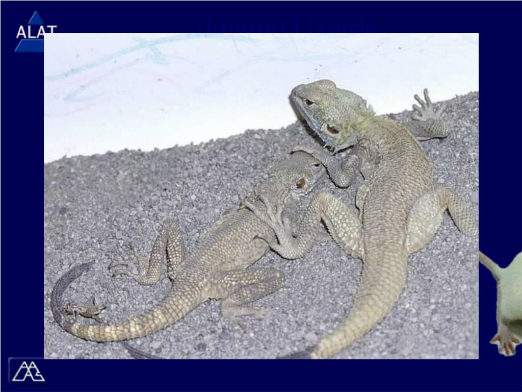 (Image) Lizards