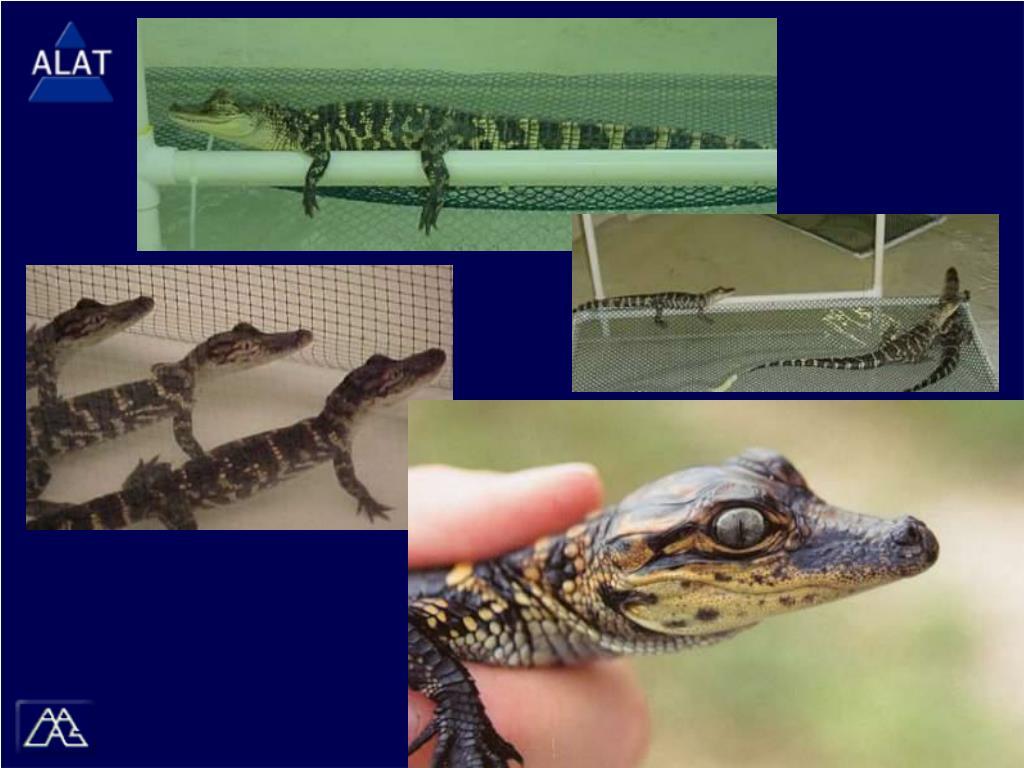 (Images) Alligators