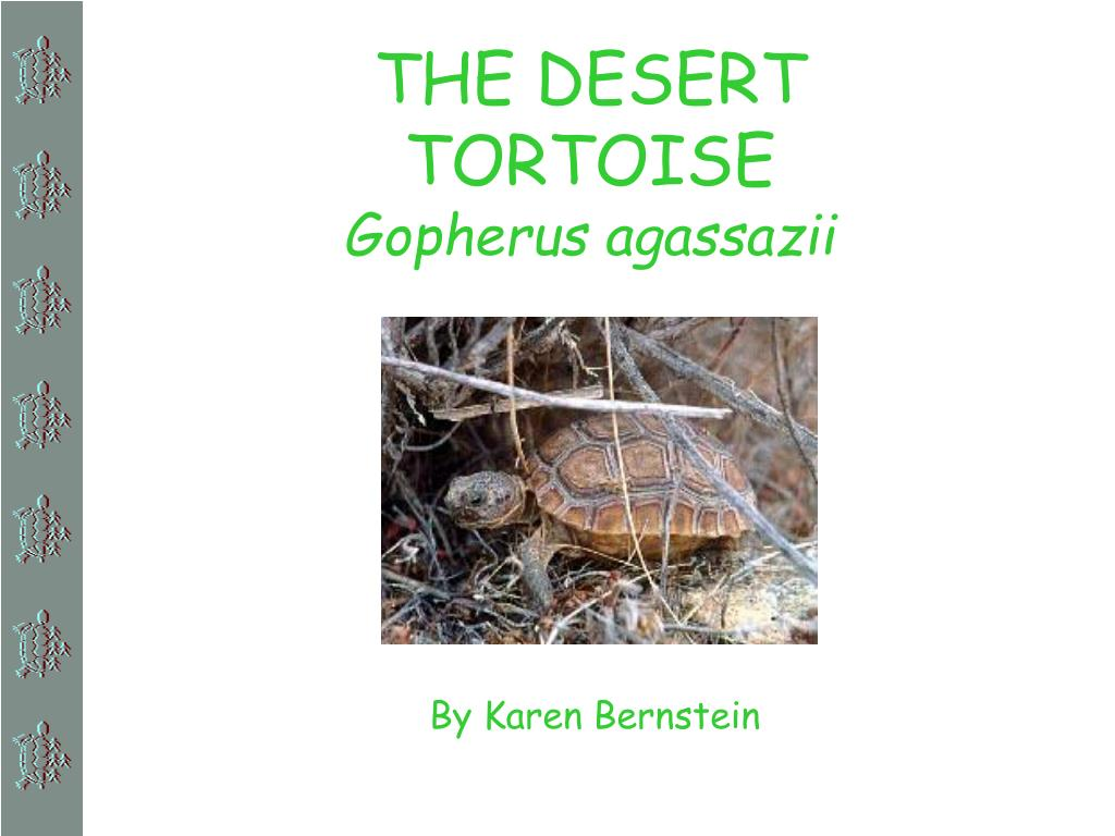 the desert tortoise gopherus agassazii l.