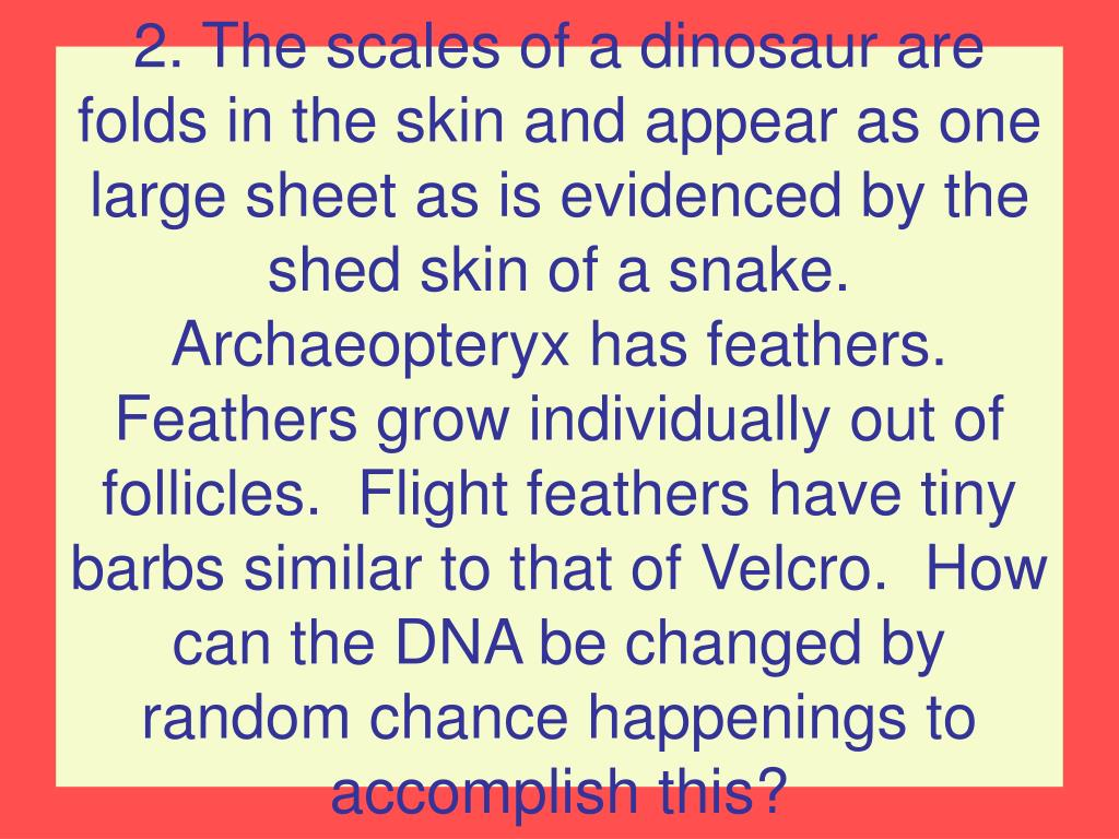 2. The scales of a dinosaur are folds in the skin and appear as one large sheet as is evidenced by the shed skin of a snake.  Archaeopteryx has feathers.  Feathers grow individually out of follicles.  Flight feathers have tiny barbs similar to that of Velcro.  How can the DNA be changed by random chance happenings to accomplish this?