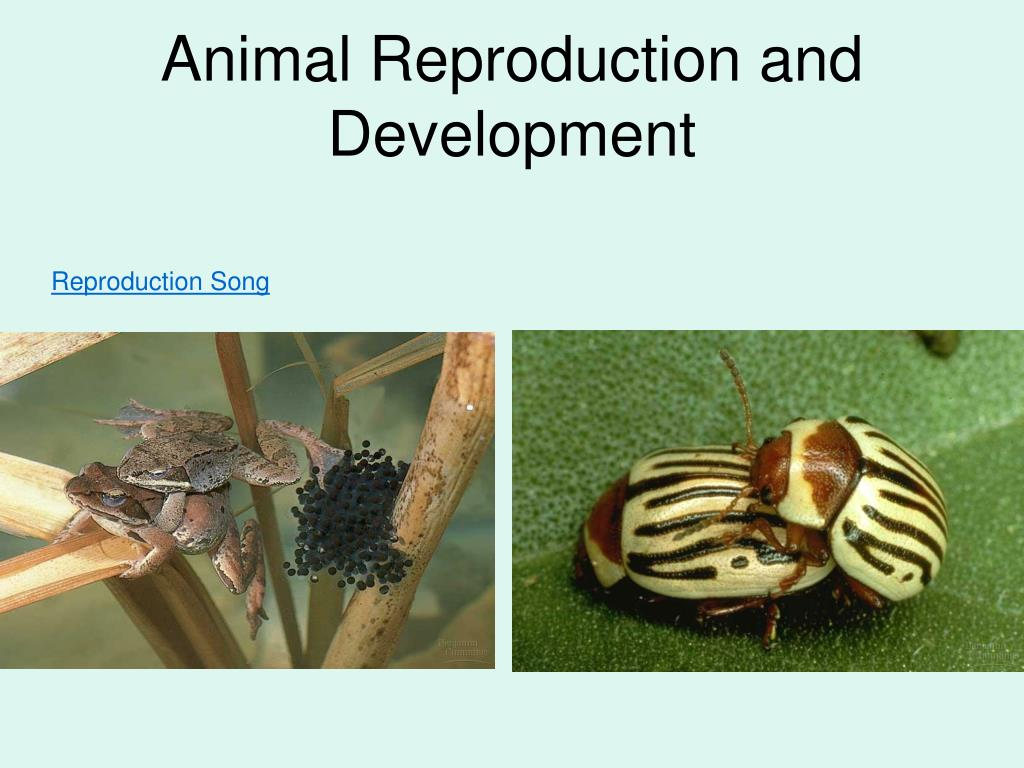 animal reproduction and development l.
