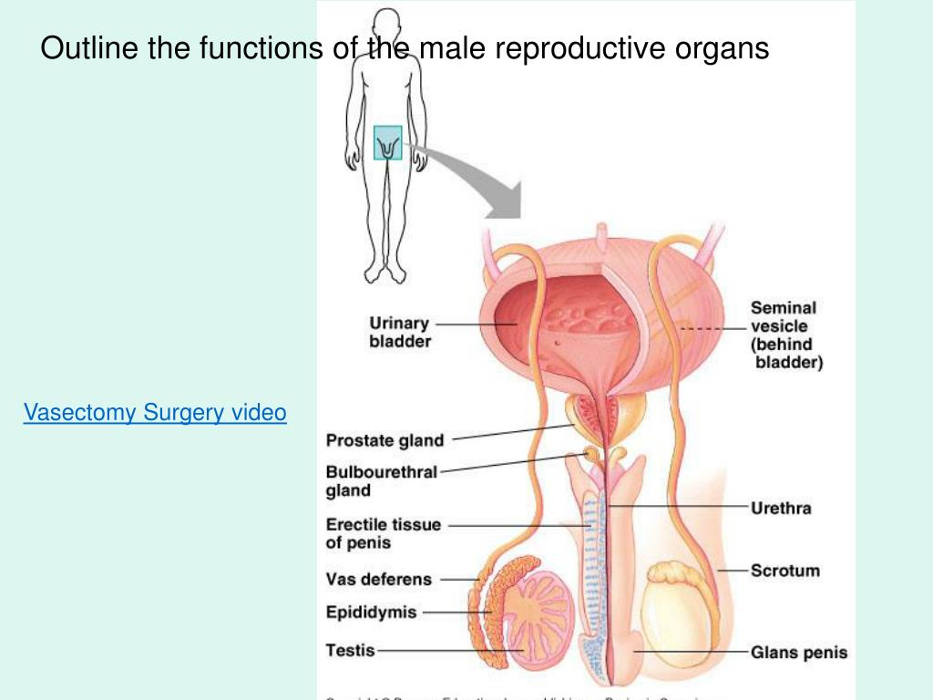 Outline the functions of the male reproductive organs