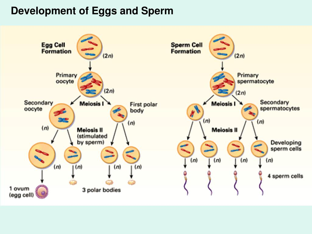 Development of Eggs and Sperm