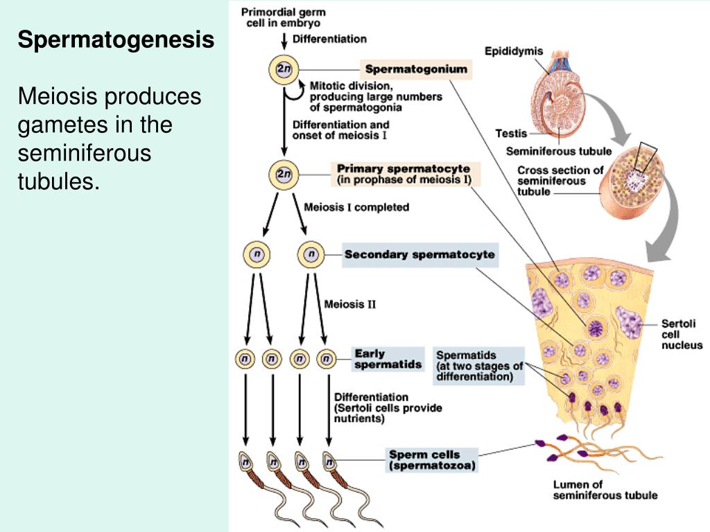 Spermatogenesis