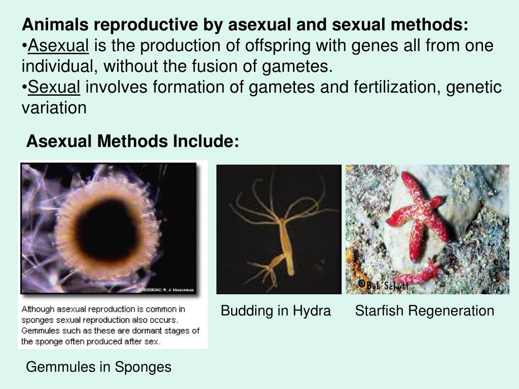 Animals reproductive by asexual and sexual methods: