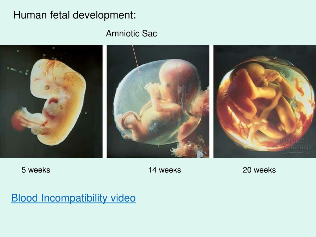 Human fetal development: