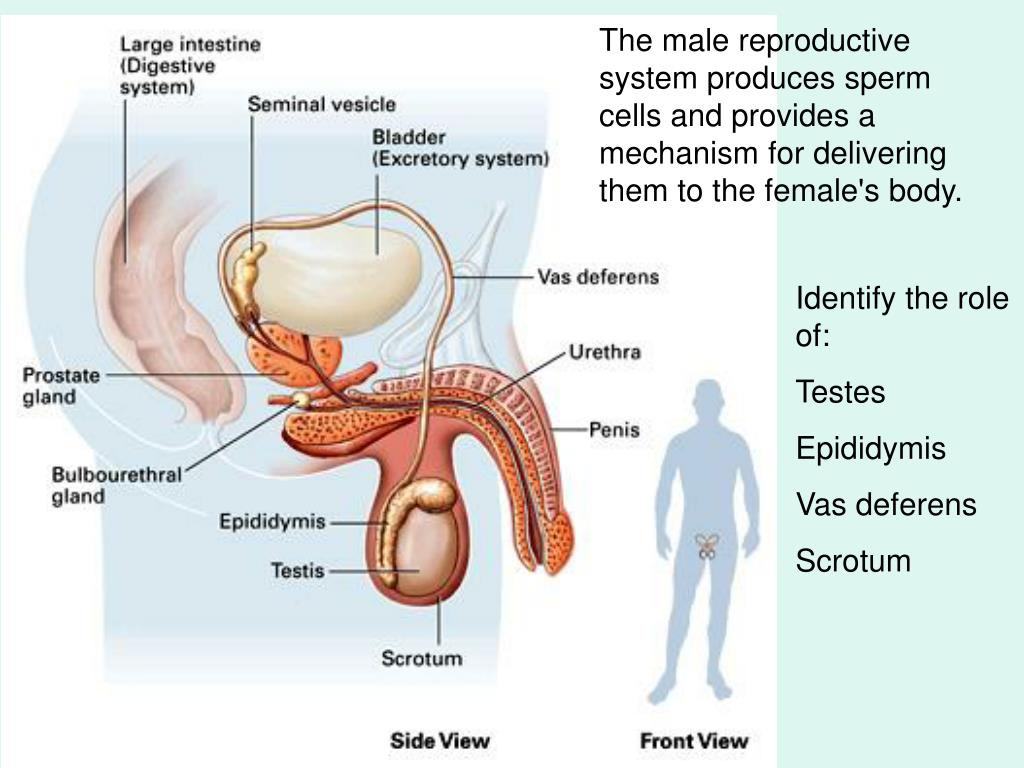 The male reproductive system produces sperm cells and provides a mechanism for delivering them to the female's body.