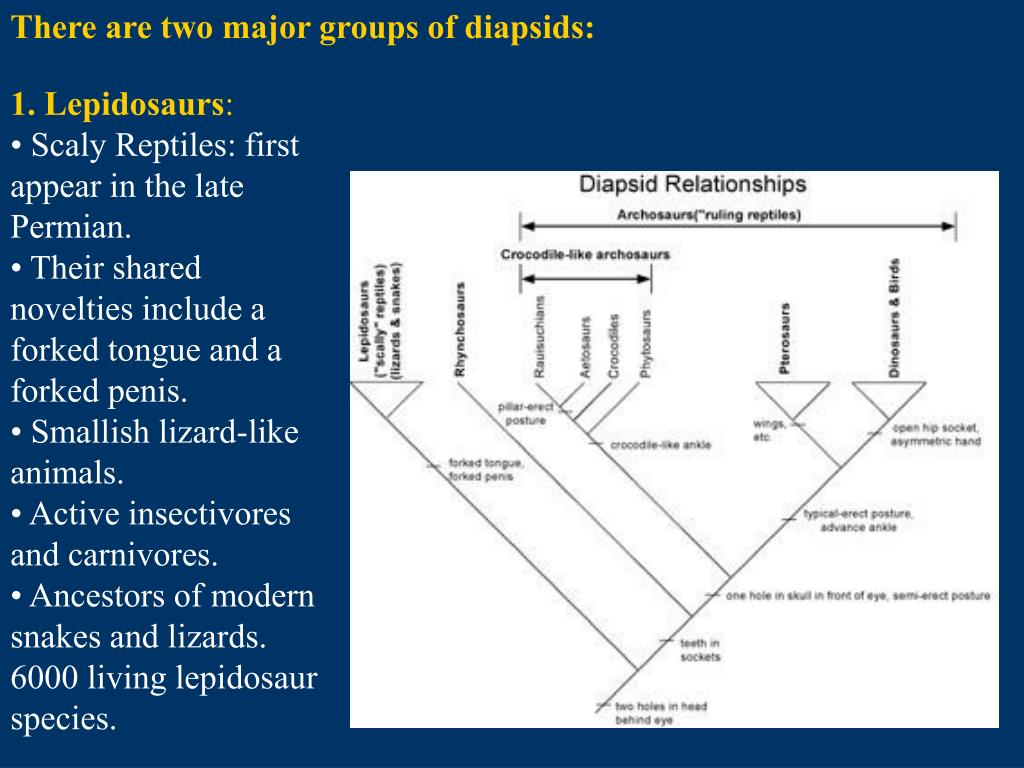 There are two major groups of diapsids: