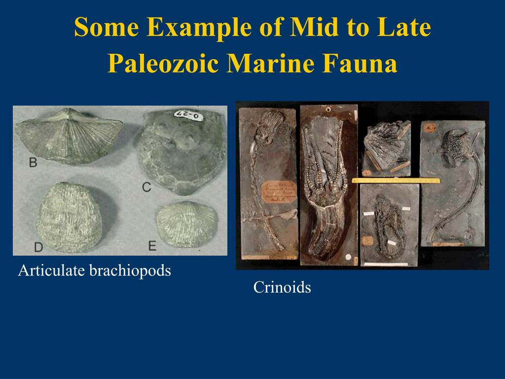 Some Example of Mid to Late Paleozoic Marine Fauna