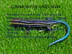 common five lines skink