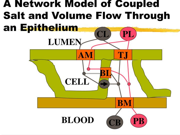 A Network Model of Coupled Salt and Volume Flow Through an Epithelium