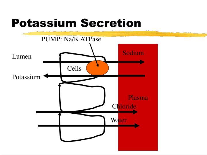 Potassium Secretion