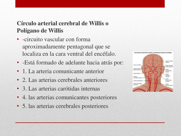 Círculo arterial cerebral de Willis o