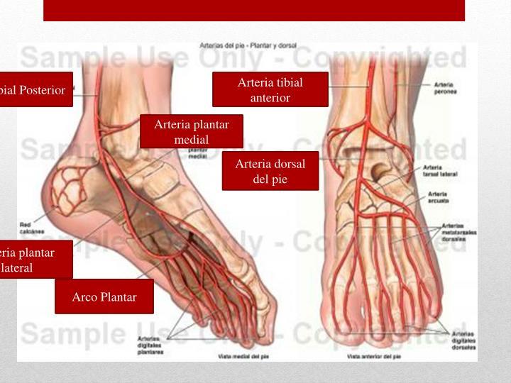 Arteria Tibial Posterior