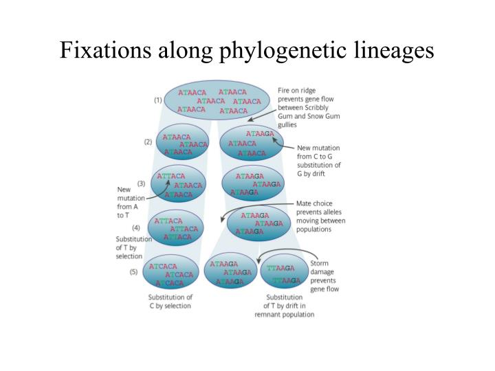 fixations along phylogenetic lineages n.