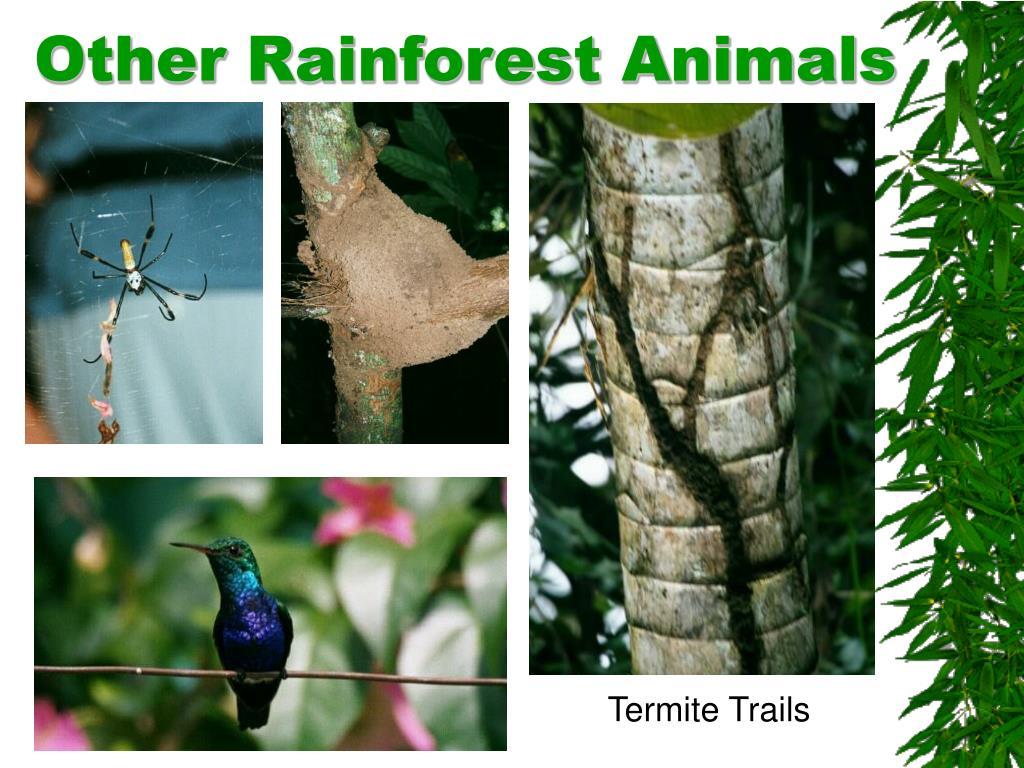 Other Rainforest Animals
