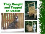 they caught and tagged an ocelot